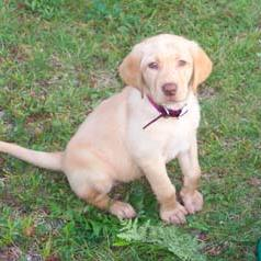 labrador puppy in yellow.jpg
