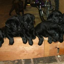 labrador retriever puppies in black.JPG