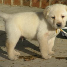 labrador retriever puppy.jpg