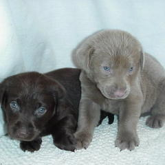 labrador retrievers puppies.jpg