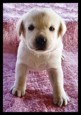 labrador young pup_golden.jpg