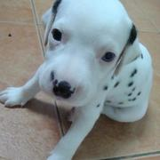 pretty Dalmation Puppy picture.jpg