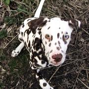 big beautiful Dalmation Puppy image.jpg