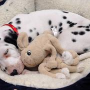 big Dalmation Puppy sleeping next to its toy on a warm dog bed.jpg