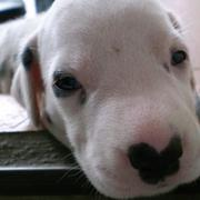 close picture of a cute Dalmation Puppy fcae.jpg