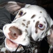 close up face picture of a dalmation pup.jpg