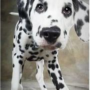 close up picture of a dalmation puppy.jpg