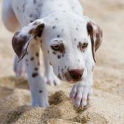 close up picture of Dalmatian puppy.jpg