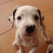 cute and funny puppy picture of Dalmation dog.jpg