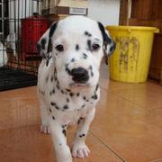 cute image of a Dalmation Puppy.jpg