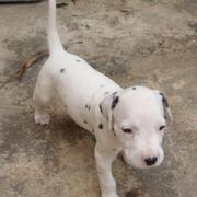 cute picture of Dalmation Puppy.jpg