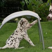 Dalmatian puppy playing.jpg