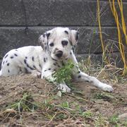 Dalmatian puppy playing in dirt.jpg