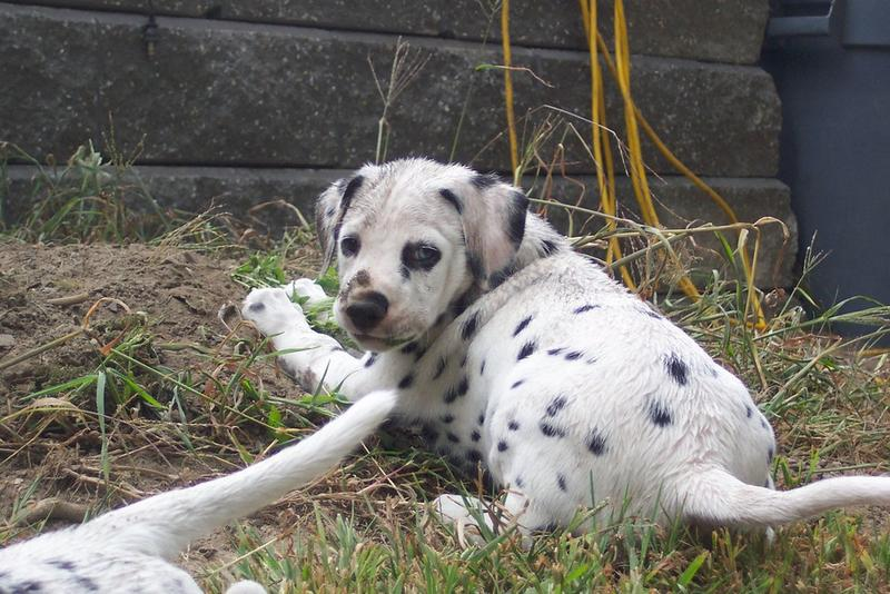 Dalmatian puppy playing the garden.jpg