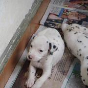 Dalmation Puppies image.jpg
