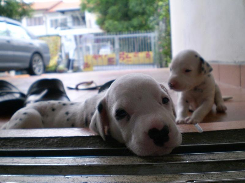 Dalmation Puppies playing in the front porch.jpg