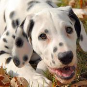 Dalmation Puppy close up photo.jpg