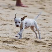 Dalmation Puppy playing on the beach.jpg