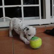 Dalmation Puppy playing with a big ball.jpg