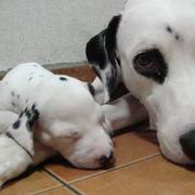 Dalmation Puppy sleeping next to its mommy.jpg