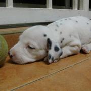 Dalmation Puppy sleeping next to its toy.jpg