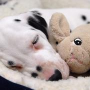 Dalmation Puppy sleeping on its warm bed and hugging its toy_so cute picture.jpg