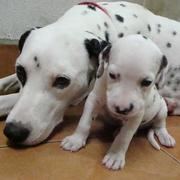 Dalmation Puppy standing next to its mommy_so adorable.jpg