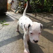 pics of Dalmation Puppy.jpg