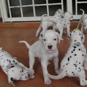 picture of a group of Dalmation Puppies playing.jpg