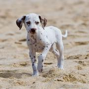 pretty Dalmatian puppy on the beach.jpg