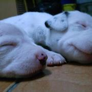 sleepying Dalmation Puppies looking so cute.jpg