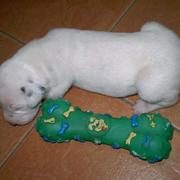 young Dalmation Puppy picture sleepying next to a big green toy.jpg