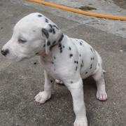 photo of a adorable Dalmation Puppy.jpg