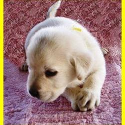 labrador young puppy_cute.jpg
