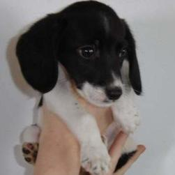 beagle pup in white and black.JPG