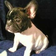 French bulldog pup.jpg