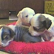 powder puff puppies.jpg