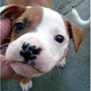 Pitbull Puppies Picture Gallery