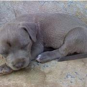 Blue Pitbull puppy sleeping.jpg