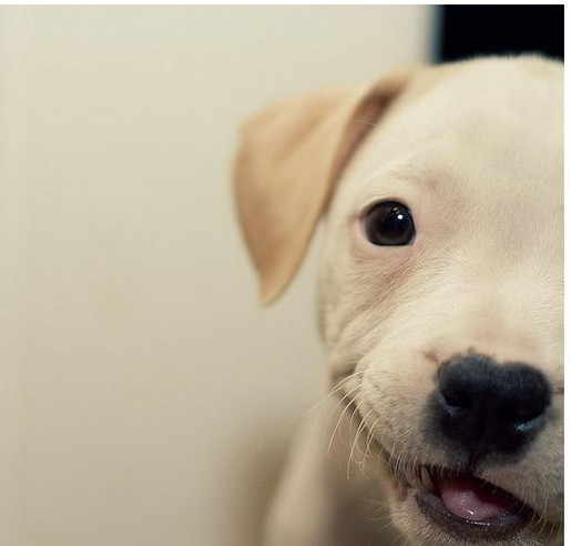 close up picture of a cream pitbull puppy.jpg