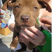 cute looking brown pit bull puppy with big ears.jpg