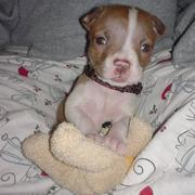 cute pitbull puppy holding its toy picture.jpg