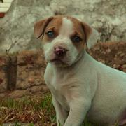cute puppy picture of pit bull.jpg