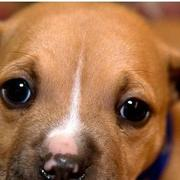 cute tan pitbull puppy face picture.jpg