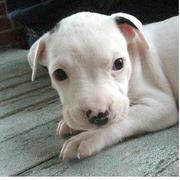 image of pit bull pup in white.jpg