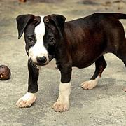 photo of pitbull pup.jpg