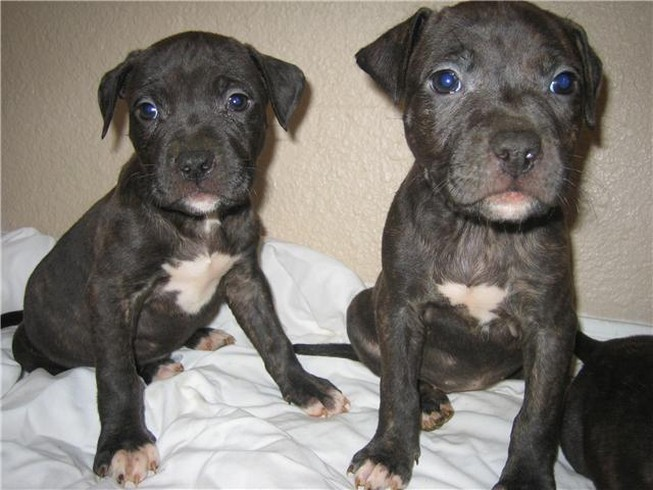 Registered Blue, Black, and White American Pit bull Terrier puppies ...