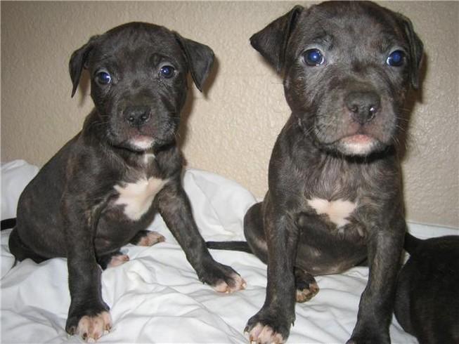Pitbull Dog Black