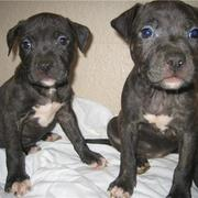 photo of pitbull puppies in black and white on the chests.jpg