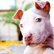 photo of white pitbull pup.jpg